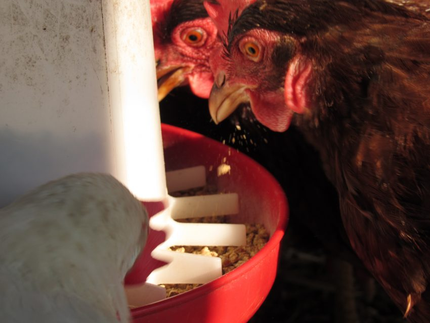 a chicken eats from a feeder