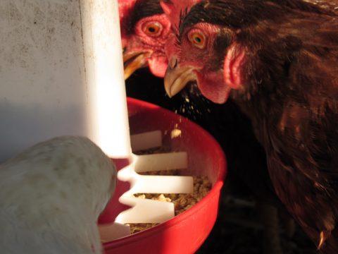 a chicken eats from a feeder