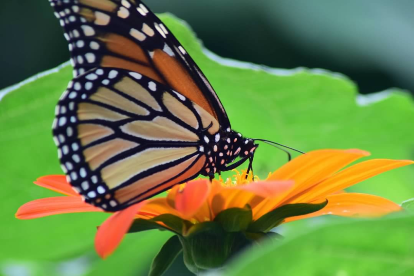 Monarchs may become an endangered species