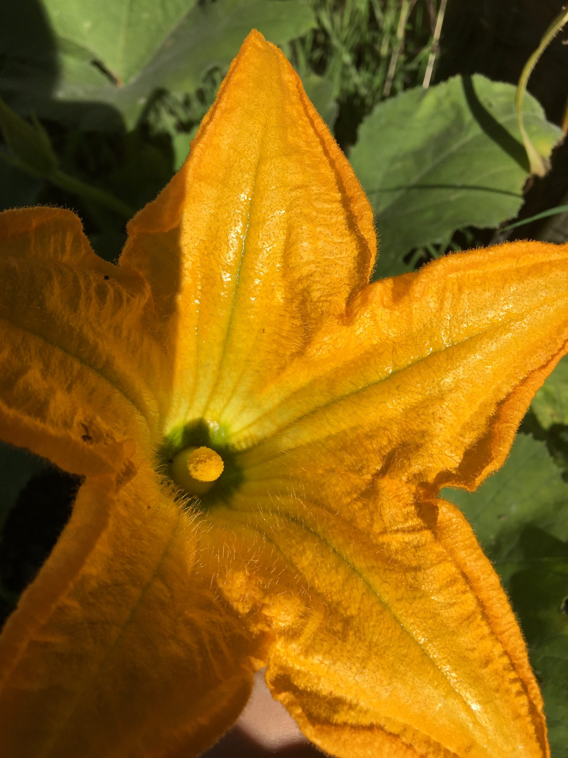 How to Pollinate a Zucchini Plant