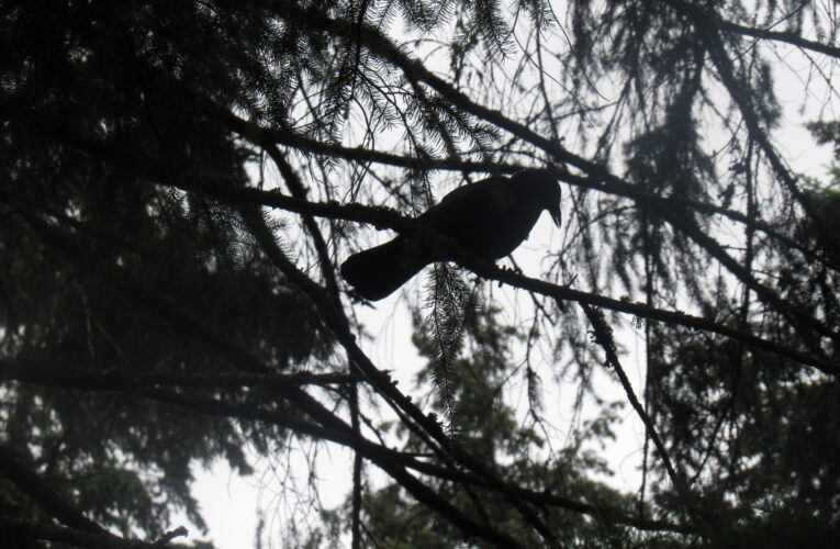 How Crows Can Help Fight Climate Change