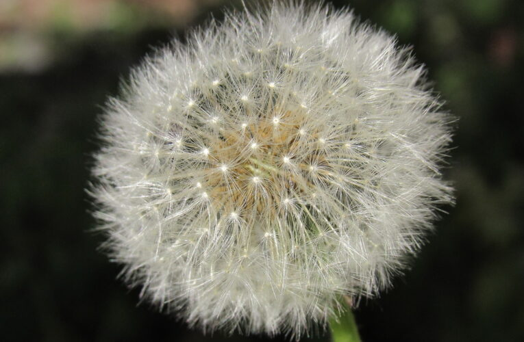 Could Dandelions Be the Key to Sustainable Rubber?